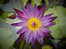 Kleurrijke purple van Lotus in de tuin royalty-vrije stock afbeelding