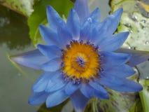 Kleurrijke purple van Lotus in de tuin royalty-vrije stock foto