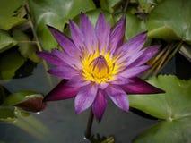 Kleurrijke purple van Lotus in de tuin stock afbeelding