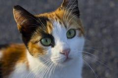 Kleurrijke pussycat met mooie ogen Homleshuisdieren in Istanboel royalty-vrije stock fotografie