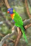 Kleurrijke Regenboog Lorikeet Stock Afbeelding
