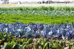Kleurrijke rijen van groenten op het gebied Stock Fotografie