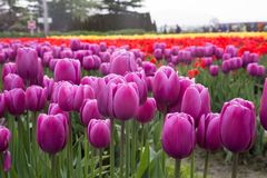 Kleurrijke rijen van tulpen op een enorm gebied van de lentetulpen Stock Afbeelding
