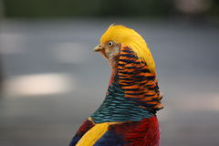 Kleurrijke rode Aziatische fazant die terug eruit ziet Stock Foto