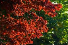 Kleurrijke rode bladeren op boom stock afbeelding