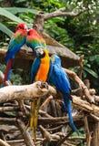 Kleurrijke rode en blauwe die ara op een tak wordt neergestreken Stock Fotografie