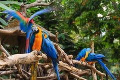 Kleurrijke rode en blauwe die ara op een tak wordt neergestreken Stock Afbeelding