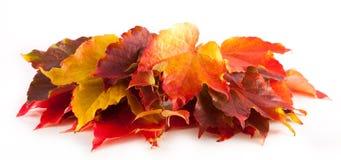 Kleurrijke rode en gele geïsoleerde de herfstbladeren royalty-vrije stock afbeelding