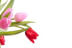 Kleurrijke rode en roze tulpen Stock Foto