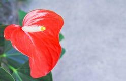 Kleurrijke rode flamingobloemen met lang stuifmeel die in tuin bloeien stock afbeelding