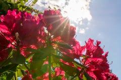 Kleurrijke rode rododendrons met zonnestraal royalty-vrije stock foto's