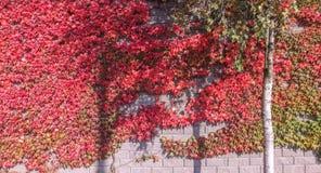 Kleurrijke rood en groen, Daling Ivy Creeper op een panoramische muur stock afbeelding