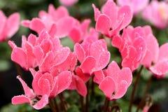 Kleurrijke roze cyclaambloemen Stock Fotografie