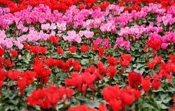 Kleurrijke roze en rode cyclaambloemen Stock Foto's