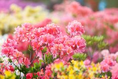 Kleurrijke roze gele azaleabloemen in tuin Bloeiende struiken van heldere azalea bij de lentezonlicht Aard, de lentebloemen stock foto's