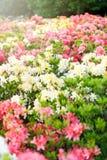 Kleurrijke roze gele azaleabloemen in tuin Bloeiende struiken van heldere azalea bij de lentezonlicht Aard, de lentebloemen royalty-vrije stock foto's