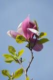 Kleurrijke roze magnoliabloem Stock Foto's