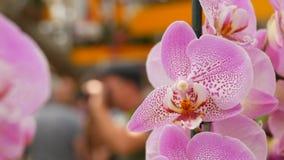 Kleurrijke roze orchideebloemen op tentoonstelling in serre stock videobeelden