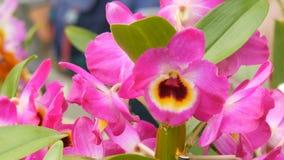 Kleurrijke roze orchideebloemen op tentoonstelling in serre stock footage
