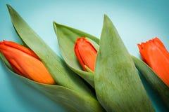 Kleurrijke roze tulpen op lichtblauwe document achtergrond Mooie de lente bloemenspot omhoog voor groetkaart Vlak leg stock foto