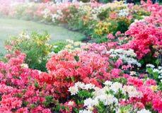Kleurrijke roze witte witte azaleabloemen in tuin Bloeiende struiken van heldere azalea bij de lentezonlicht Aard, de lente royalty-vrije stock fotografie