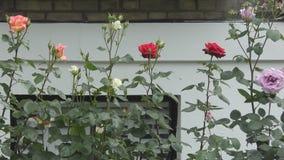Kleurrijke rozen in de tuin stock footage