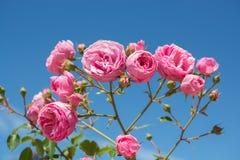Kleurrijke rozen in een roze tuin Stock Foto's