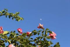 Kleurrijke rozen tegen de achtergrond van blauwe hemel en daglicht Royalty-vrije Stock Afbeeldingen