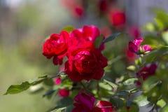 Kleurrijke Rozerode Gele Wit nam en Bloemen toe stock fotografie