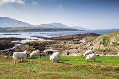 Kleurrijke schapen die kustlijn overzien Stock Foto's