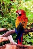 Kleurrijke scharlaken ara Royalty-vrije Stock Foto's