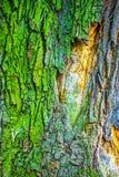 Kleurrijke schors van oude eiken boom, abstracte aardachtergrond Royalty-vrije Stock Afbeeldingen