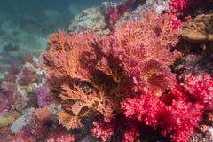 Kleurrijke seafan bij eiland Lipe royalty-vrije stock fotografie