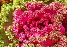 Kleurrijke sierboerenkool of kool stock foto