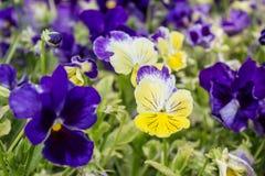 Kleurrijke sleutelbloemen stock afbeelding