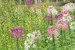 Kleurrijke spinbloemen stock fotografie