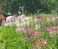 Kleurrijke spinbloemen royalty-vrije stock afbeelding