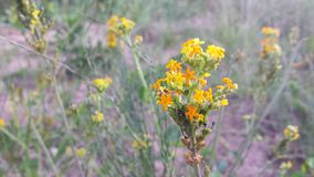 Kleurrijke ster gevormde bloem in Zuid-Afrika Stock Foto's