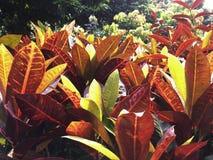 Kleurrijke struikbladeren met multikleur, groen, rood en roze in Th Stock Foto's