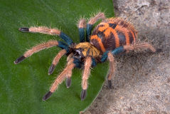 Kleurrijke Tarantula royalty-vrije stock afbeelding