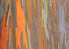 Kleurrijke textuur van eucalyptusboom Royalty-vrije Stock Fotografie