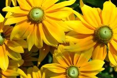 Kleurrijke Tithonia is gelijkaardig aan de Zonnebloem royalty-vrije stock foto