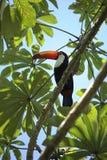 Kleurrijke toekanvogel in de wildernis, Iguazu-wildernis royalty-vrije stock afbeeldingen