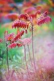 Kleurrijke trillende bladeren op een sumacinstallatie tijdens het de herfstseizoen Stock Fotografie