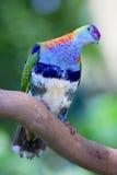 Kleurrijke tropische die duif op tak wordt neergestreken Stock Foto