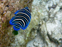 Kleurrijke tropische vissen Stock Afbeeldingen