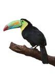Kleurrijke tucan stock afbeeldingen