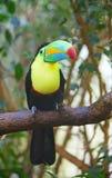 Kleurrijke tucan Stock Foto's