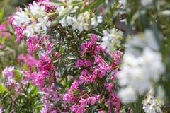 Kleurrijke tuin op een de zomerhuis in Skopelos-Eiland, Griekenland royalty-vrije stock fotografie