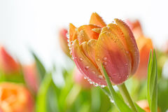 Kleurrijke Tulip Macro stock foto's